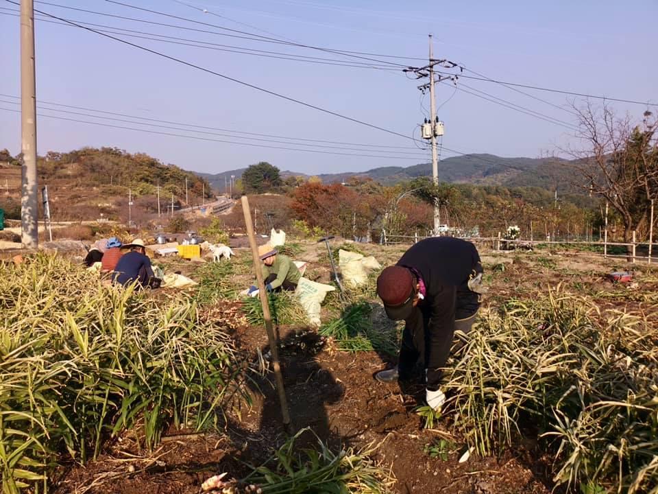 생강수확3.jpg