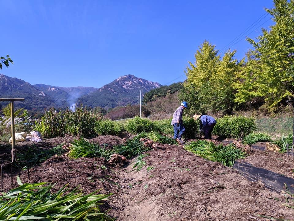 생강수확2.jpg